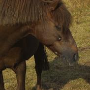 Welsh Pony (sec B) BKR's Sebastian