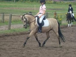 Welsh Pony af Cob-type (sec C) rotterdams sheila
