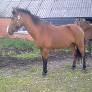 Hollandsk Sportspony Saquita
