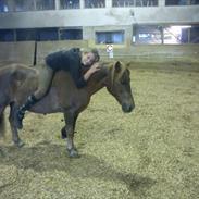 Islænder / Araber Sussi *Elev hest*