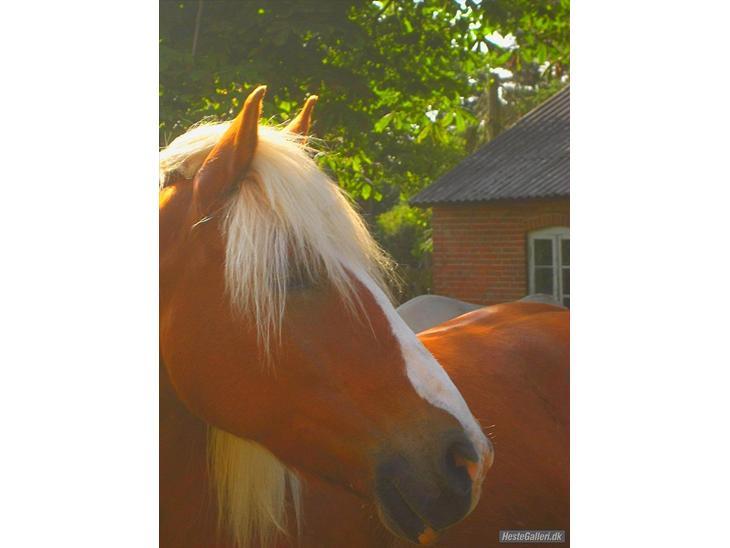 Tyroler Haflinger <3 partner <3  i miss you!!! <3 :´( - En smuk og unik hest der ikke er bange for at vise hvem han er !!!! <3 Du er den BEDSTE!!<3