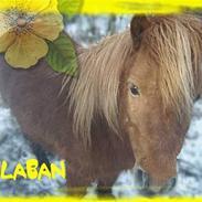 Shetlænder Laban ~ SOLGT :´(