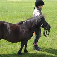 Shetlænder Pony (DEN LILLE STJERNESPRINGER) <3 <3