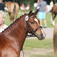 Welsh Pony (sec B) Korreborgs Pinot