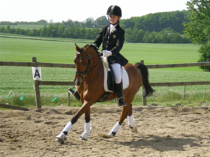 """Welsh Pony (sec B) Chico """"SOLGT"""" - Jordens dejligste lille ponz ;-)"""