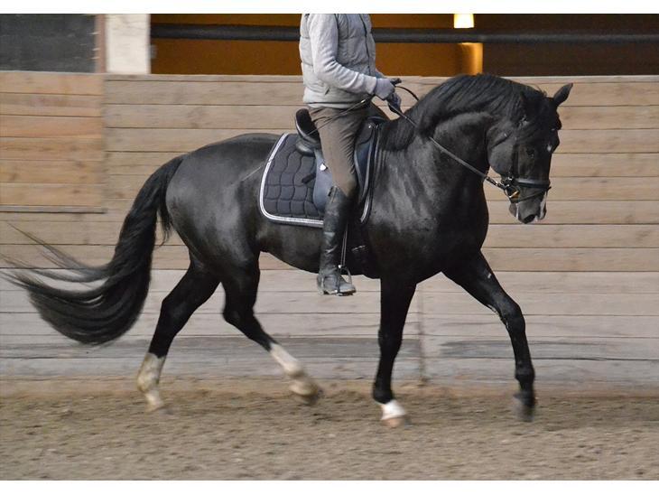 Oldenborg Almsgaards X-factor - 4 år. Sjette gang med rytter på. 26 januar 2012