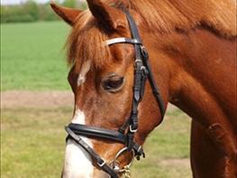 Welsh Pony (sec B) Avalon