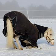 Welsh Pony af Cob-type (sec C) Rosengårdens Nakuma *B-pony*