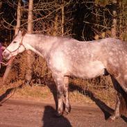 Welsh Partbred (Sec F) Shimano