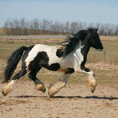 Irish Cob Sir Anthony de Canterville