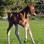 Frederiksborg Nytoftgaards Anastacia (Baby)