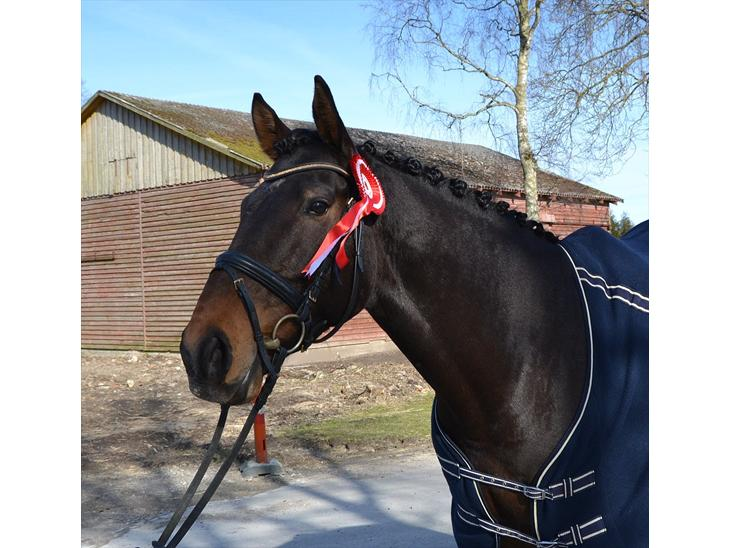 Anglo Araber (AA) Raypawers Seabiscuit