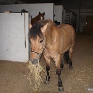 Anden særlig race Anton rideskole  hest