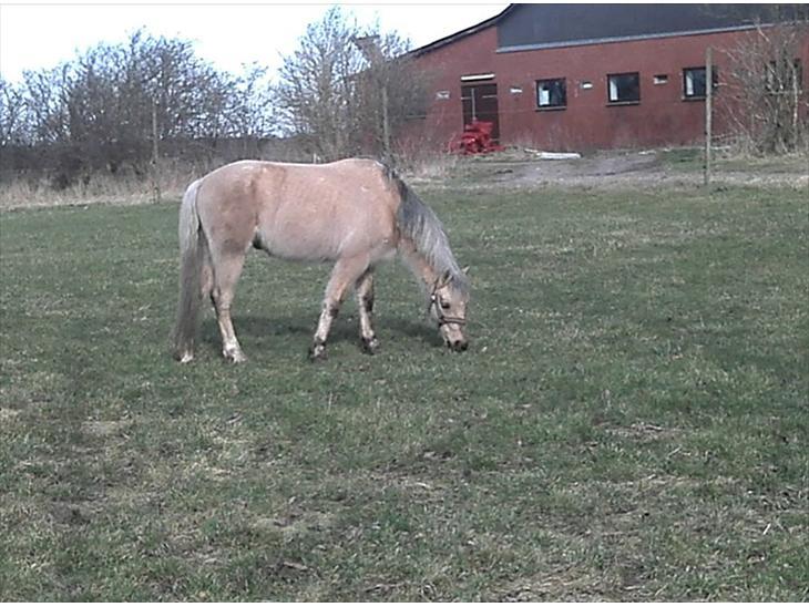 Welsh Pony (sec B) Håbets Golden Son - En varm forårsdag nydes uden vinter-dækkenet.