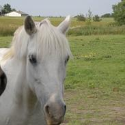 Welsh Pony (sec B) Prinzess of Beauty queen ( Pony) R.I.P