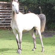 Welsh Partbred (Sec F) Zileen