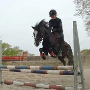 Welsh Pony (sec B) Barnhoeve's Alex