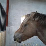 Fjordhest Stutteri Golden Horse Konstantin