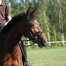 Welsh Partbred (Sec F) Bjirmen´s Maryse RSDH [Min egen pony<3]