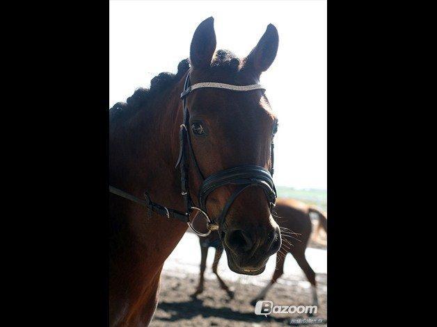 Pinto Vestergårdens Jasmin  <3 - min jasmin :) billede 1
