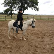 Welsh Pony (sec B) my mate macon (solgt)