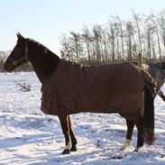Dansk Varmblod Mozart Qvist - B hest i Dressur