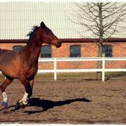 Welsh Pony af Cob-type (sec C) Brinckhoffs Noraly