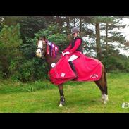 Welsh Pony (sec B) Fokus