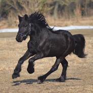 Fell pony Strandgaardens Black Jack