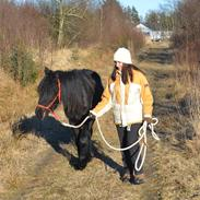 Fell pony Strandgaardens Black Jack