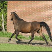 Welsh Pony (sec B) Bjerregårds Freja