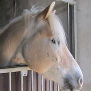 Tyroler Haflinger Anthony's Apollo