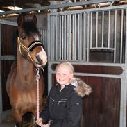 Welsh Pony (sec B) Bakkegaarden´s perfect prince