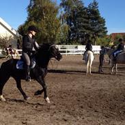 Welsh Pony af Cob-type (sec C) Nestor