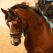 DSP Fontaine B- pony