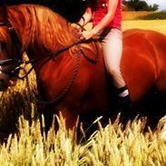 Welsh Pony af Cob-type (sec C) Kildegårdens Charm