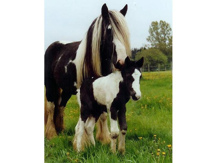 Irish Cob ** MOONLIGHT ** - Moonlight og hendes hingsteføl sommeren 2006
