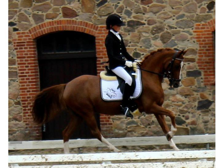 Welsh Pony (sec B) *Saffira Stal Bruggeweerd* A-Pony* Solgt :-'( - Lækre Laffe til DM 2013