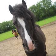 Welsh Pony af Cob-type (sec C) Gribsvads Rufus