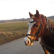 Welsh Pony af Cob-type (sec C) Holmgårdens Amazing star (Solgt) miss you so much