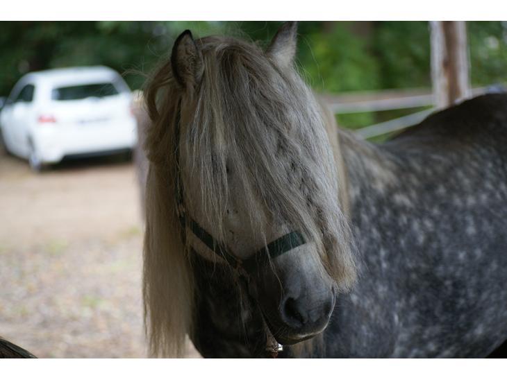 Highland Pony Trailtrow Ghillie Dhu