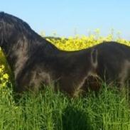 Welsh Pony af Cob-type (sec C) Llanstephan Joseff aka. Hingst