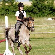 Welsh Pony af Cob-type (sec C) Lyngvejens Max