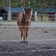 Islænder Ballerina fra Team Horse