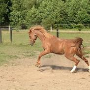 Welsh Partbred (Sec F) Sweet About Me