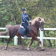 Welsh Cob (sec D) Midtnight