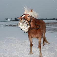 Haflinger Mille (Tidl. pony)