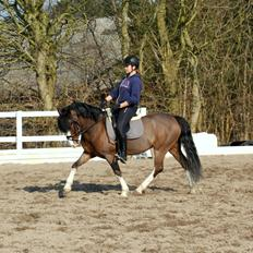 Welsh Pony af Cob-type (sec C) Thers Mickey Mouse