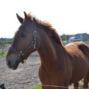 Anden særlig race Lykkelundens Jackpot<3 A pony