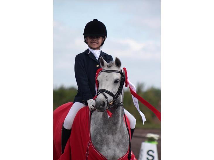 Welsh Pony (sec B) Clausholm Lord Joker (A-Pony) - Sydjysk mester kat 3 dressur - min stjerne til 71 %